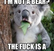 "Best Of ""Surprised Koala Bear"" Meme (25 Pics)"