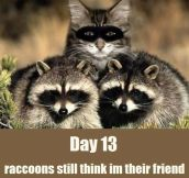 Day 13, raccoons still think I'm their friend
