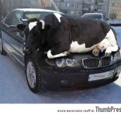 """I have a problem with my car, there's a cow on it."""