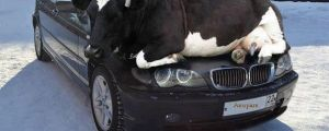 """""""I have a problem with my car, there's a cow on it."""""""