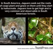 An interesting fact about Jaguars