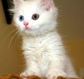 Odd-eyed Van kitten