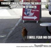 THE CHICKEN IS NOT AFRAID.
