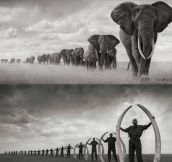 The sad truth about elephants in Africa…