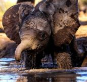 Baby elephant mud bath…