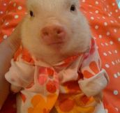 In case you haven't seen a piglet in a sweater yet…