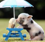 Piglet keeping cool…