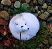 Beautiful Arctic Fox…