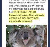 Eucalize Legalyptus…