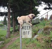 This pug gets it…