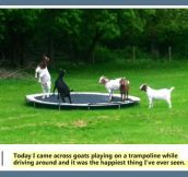 Goats playing on a trampoline…