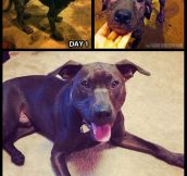 My rescue pit bull…