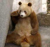 I present you the rare brown panda…