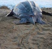 How I saved the life of a leatherback sea turtle…
