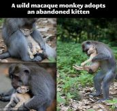 A wild monkey adopts an abandoned kitten…
