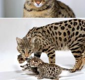 The Savannah cat…