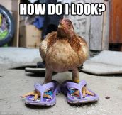 Fancy chicken…