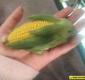 Corn Rabbit…