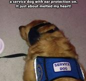 A service dog with ear protection on…