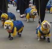 French Bulldog Minions…