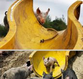 A water slide for pigs…