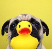 Duckling pug…
