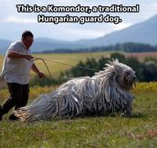 The beautiful Komondor…