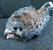 Just a baby hawk…