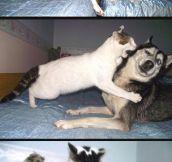 Cat vs. Husky…