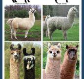 Llama vs. Alpaca…