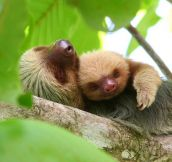 Snuggling sloths…