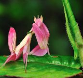 The magnificent Orchid mantis…