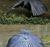 That's how the Black Heron rolls…
