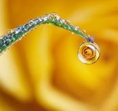 Rose in a dew drop…