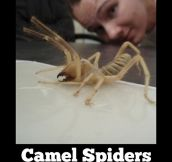 I'm afraid of camels and spiders, and now camel spiders…