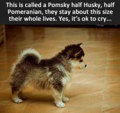 The Pomsky…
