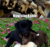 Stackable puppies…
