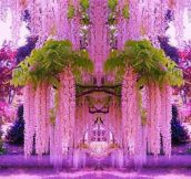 A purple wisteria flower garden in Japan