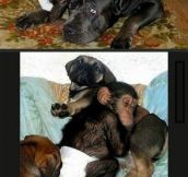 Adopting A Chimpanzee