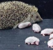 BABY HEDGEHOGS AND THEIR MOTHER. NOT AS CUTE…