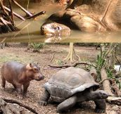Baby hippo and old tortoise become best friends