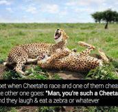 Cheeky cheetahs