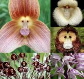 Monkey Orchid, found in high elevations in Ecuador and Peru