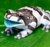 This is the Amazon Milk Frog