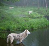 Three wolves in Quebec