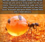 The honey pot ants…