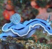 Amazing Blue Sea Slug…