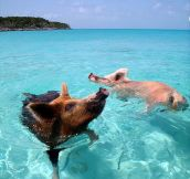 Swimming pigs…
