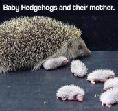 Newborn baby hedgehogs and mom…