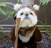 Ewok dog…